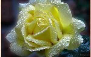 Белая роза – символ любви влюбленных