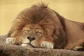 шкура льва- вот что принято дарить на свадьбу в Танзании